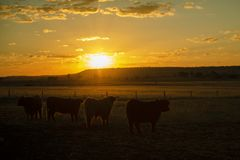 Коровы гористой местности на ферме Стоковые Фотографии RF