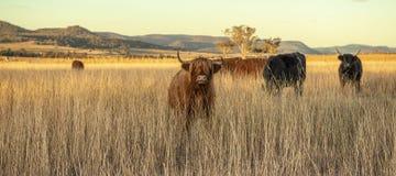 Коровы гористой местности на ферме Стоковые Изображения