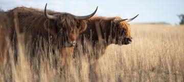Коровы гористой местности на ферме Стоковое Изображение RF