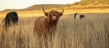 Коровы гористой местности на ферме Стоковая Фотография RF