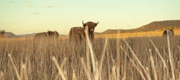 Коровы гористой местности на ферме Стоковые Изображения RF