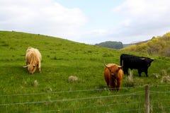Коровы гористой местности пася в Шотландии Стоковые Фотографии RF