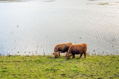 Коровы гористой местности пася на портовом районе Стоковые Фотографии RF