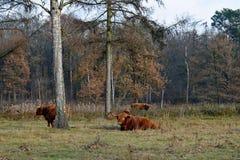 Коровы гористой местности пася на поле Стоковая Фотография
