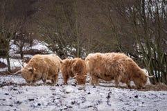 Коровы гористой местности подавая - сцена снега Стоковые Фотографии RF