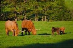 Коровы гористой местности Шотландии Стоковая Фотография RF
