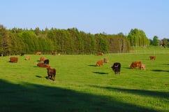 Коровы гористой местности Шотландии Стоковые Фотографии RF