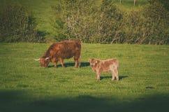 Коровы гористой местности Шотландии Стоковое Изображение