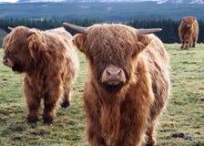 Коровы гористой местности Стоковые Изображения