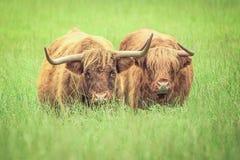 Коровы гористой местности Стоковые Фотографии RF