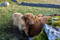 Коровы гористой местности Стоковое Фото