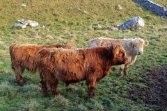 Коровы гористой местности Стоковые Фото
