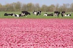 Коровы голландца весной Стоковое фото RF