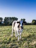 Коровы Гольштейна в заходе солнца на луге Стоковые Фото
