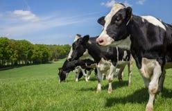 Коровы Гольштейна Zwartbont голландца на холме Стоковые Фотографии RF