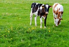 Коровы (Гольштейн) в луге Стоковая Фотография RF