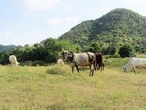 Коровы группы есть траву Стоковое Изображение