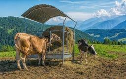 Коровы едят сено в колеснице в горах Стоковые Фото