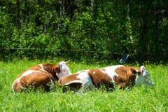 Коровы лежа в траве Стоковое Изображение RF