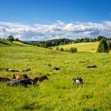 Коровы лежа в траве Стоковая Фотография RF
