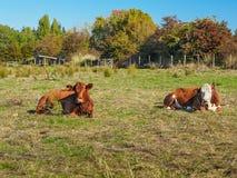 2 коровы лежа в траве Стоковое Изображение