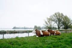 2 коровы лежа и смотря озеро Стоковые Фото