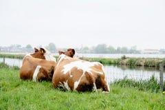 2 коровы лежа и смотря озеро Стоковые Фотографии RF
