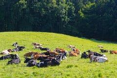 Коровы лежа на зеленом луге Стоковые Фотографии RF