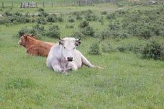 Коровы лежа на траве на луге Стоковое Изображение