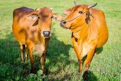 Коровы есть в зеленом свежем поле Стоковые Фото