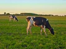 2 коровы есть в поле Стоковые Изображения