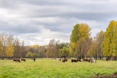 Коровы есть в поле Стоковое фото RF