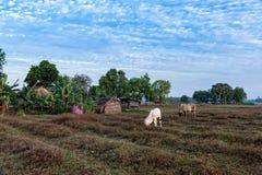 Коровы есть на ландшафте Anlung защищенном Pring Стоковая Фотография RF