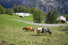 Коровы есть на солнечности лугов с ландшафтом в снеге Альпах Стоковые Изображения RF