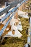 коровы есть подавая шкаф сена Стоковые Фотографии RF