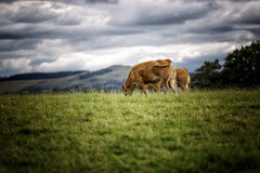 коровы есть поле Стоковое фото RF