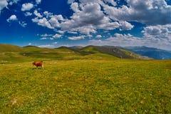 Коровы есть свежую траву в долине горы Стоковые Изображения