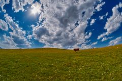 Коровы есть свежую траву в долине горы Стоковые Фотографии RF