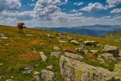 Коровы есть свежую траву в долине горы Стоковые Фото