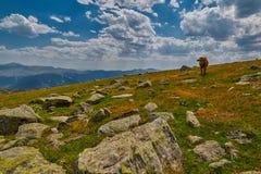 Коровы есть свежую траву в долине горы Стоковое Изображение
