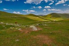 Коровы есть свежую траву в долине горы Стоковые Изображения RF