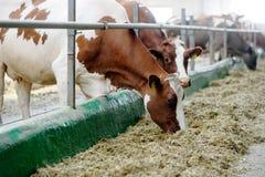 Коровы есть сено в коровнике на молочной ферме Стоковые Фото