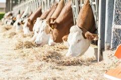 Коровы есть сено в коровнике Стоковые Фото