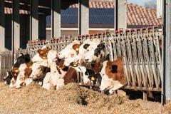 Коровы есть сено в коровнике Стоковые Изображения RF