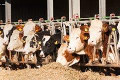 Коровы есть сено в коровнике Стоковое фото RF