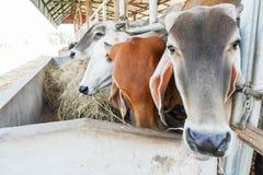 Коровы есть сено в ферме Стоковое фото RF