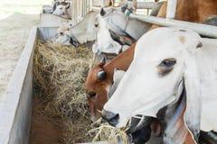 Коровы есть сено в ферме Стоковое Фото