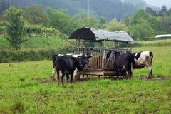 Коровы есть сено в ферме Стоковая Фотография RF
