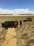 коровы есть сено Стоковые Изображения