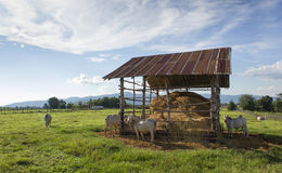 Коровы есть солому на луге Стоковые Фото